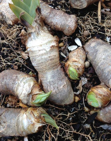 Iris plants after hard freeze