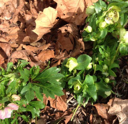 Trimmed lenten rose plants