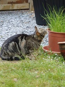 cat smelling a pot of seedlings