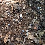 helleborus seeds in soil