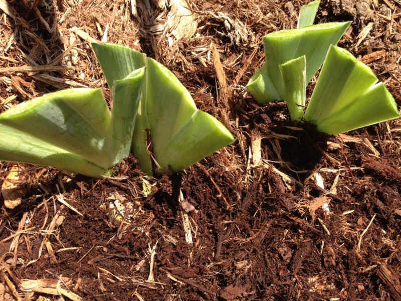 Newly planted iris