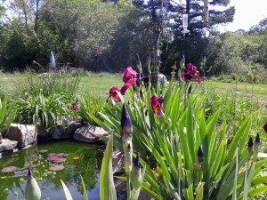 more unknown irises and pond