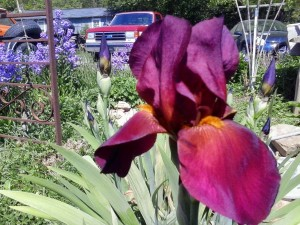unknown iris