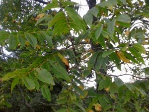 The black walnut trees lose their leaves early. These are already yellowing.
