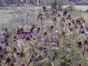 The coneflowers have gone to seed -- which makes the birds happy!
