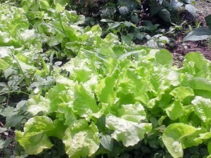 Lettuce matures quickly and doesn't mind cool temps, making it an excellent fall garden option.