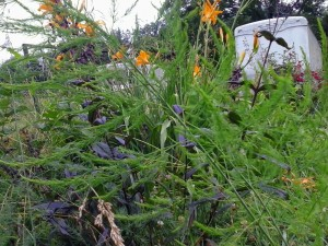 Asparagus, Penstemon, and Lilies growing in a tangle.