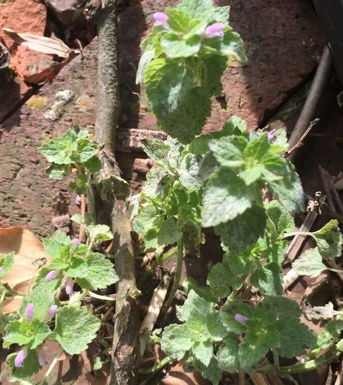 Henbit plant