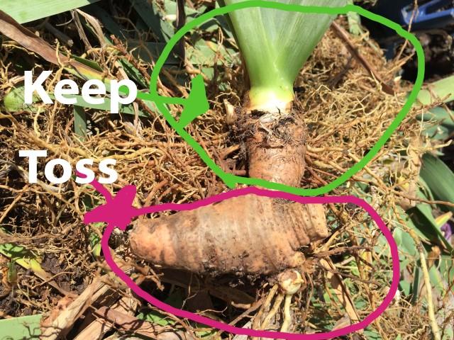 How to thin an iris clump